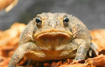 ra southern toad