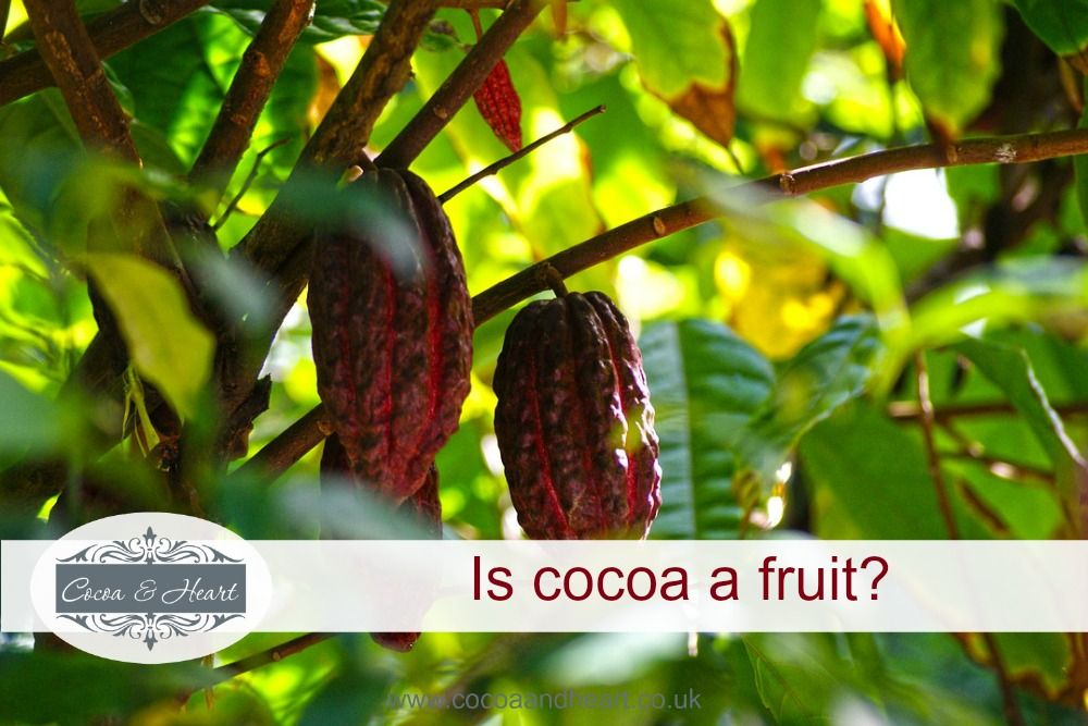 Is cocoa a fruit