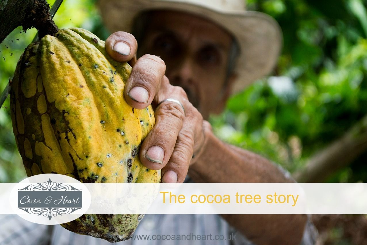 The cocoa tree story