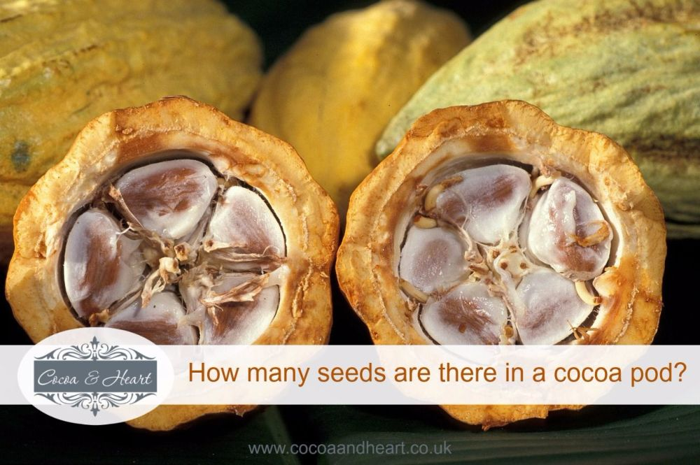 how many seeds are there in a cocoa pod