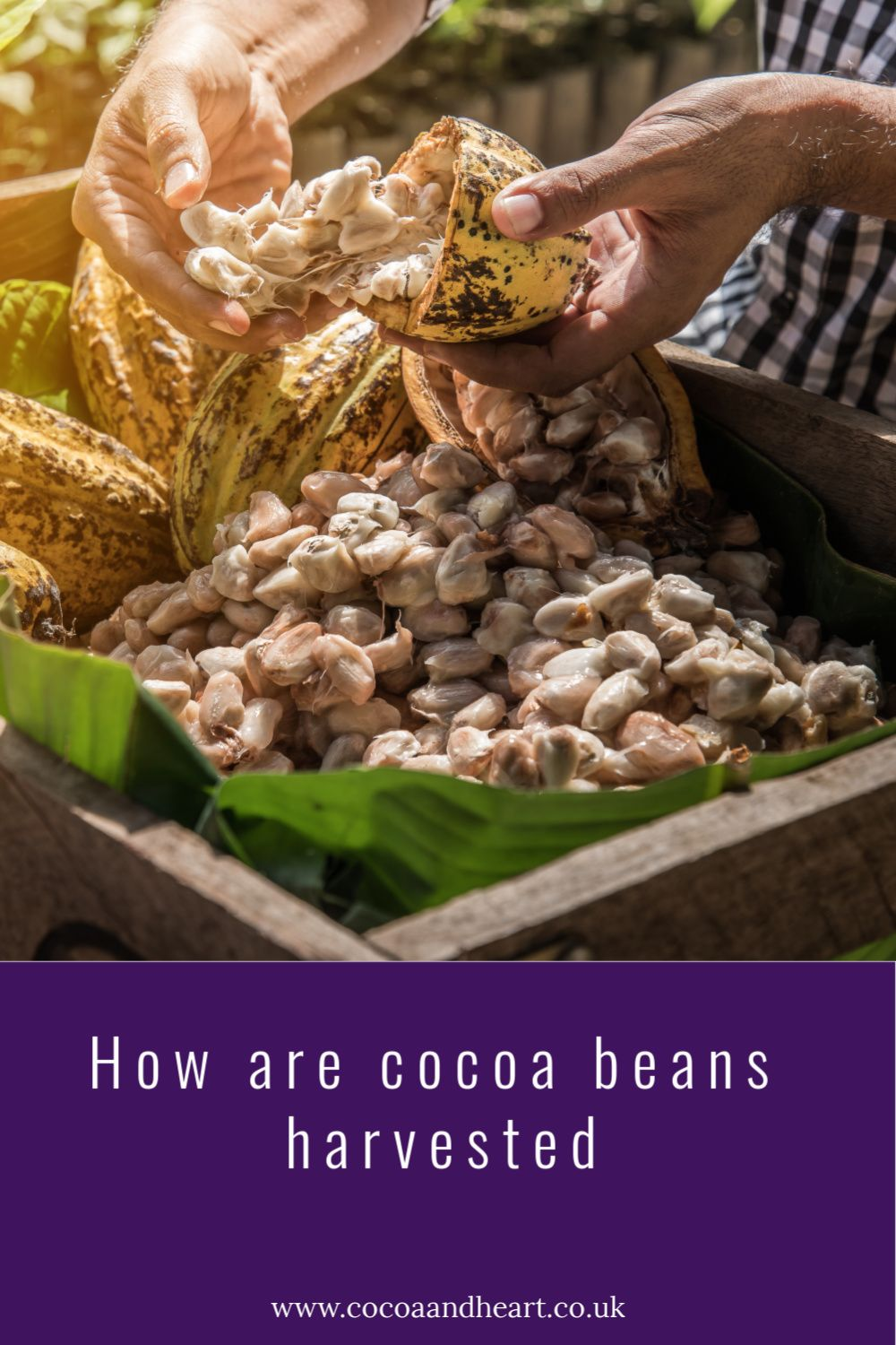 How are cocoa beans harvested