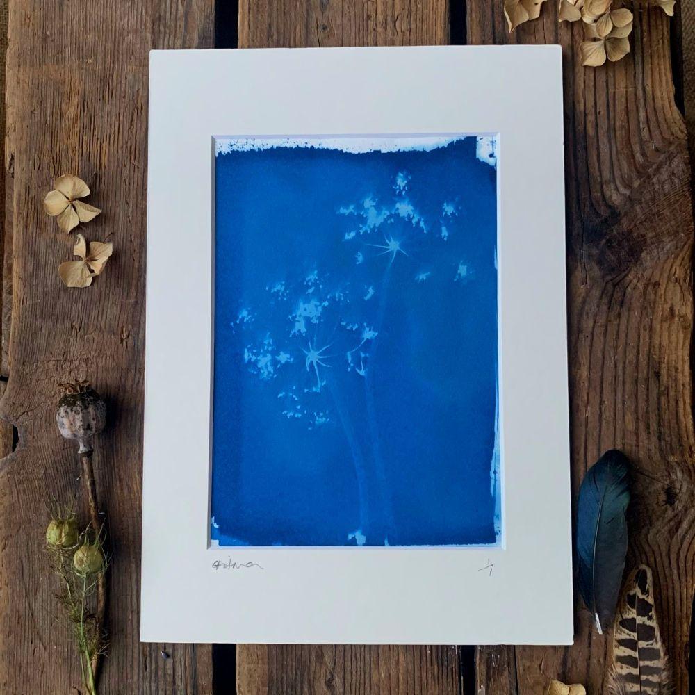 Allium seed head Cyanotype original print in A4 Mount