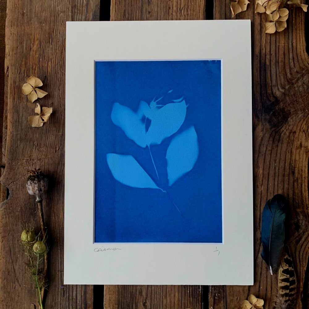 Honeysuckle blossom Cyanotype original print in A4 Mount
