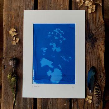 Ladies Mantle Cyanotype original print in A4 Mount