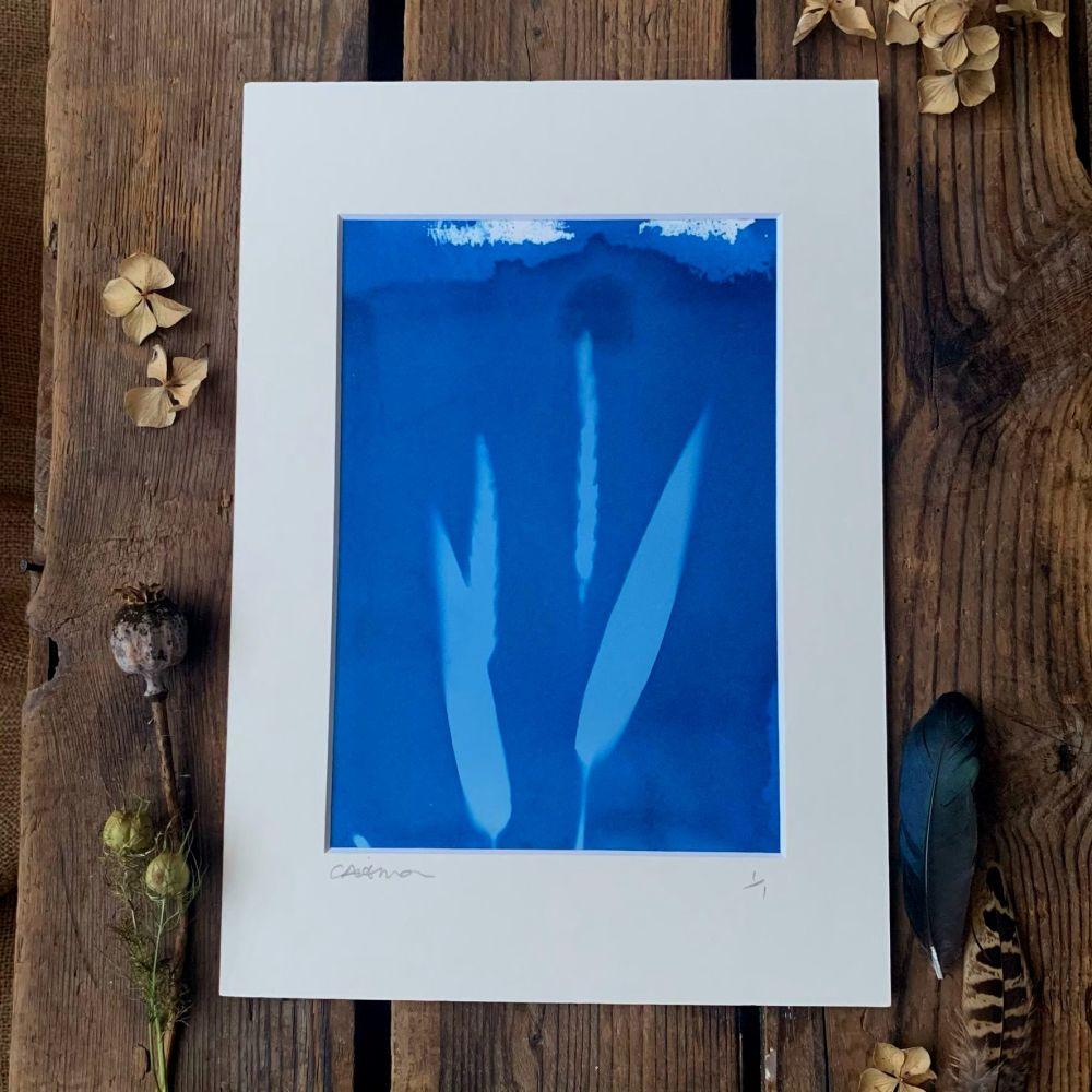 Summer grass seed head Cyanotype original print in A4 Mount