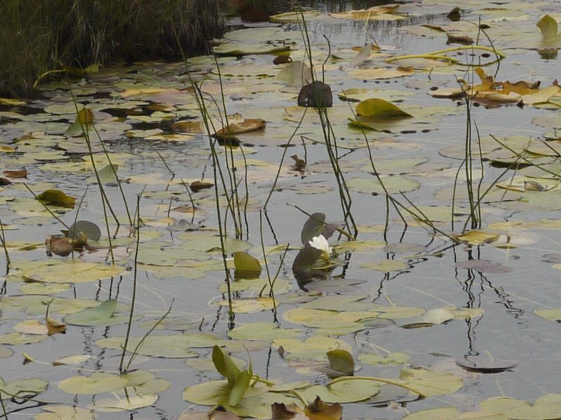 waterlilies dying