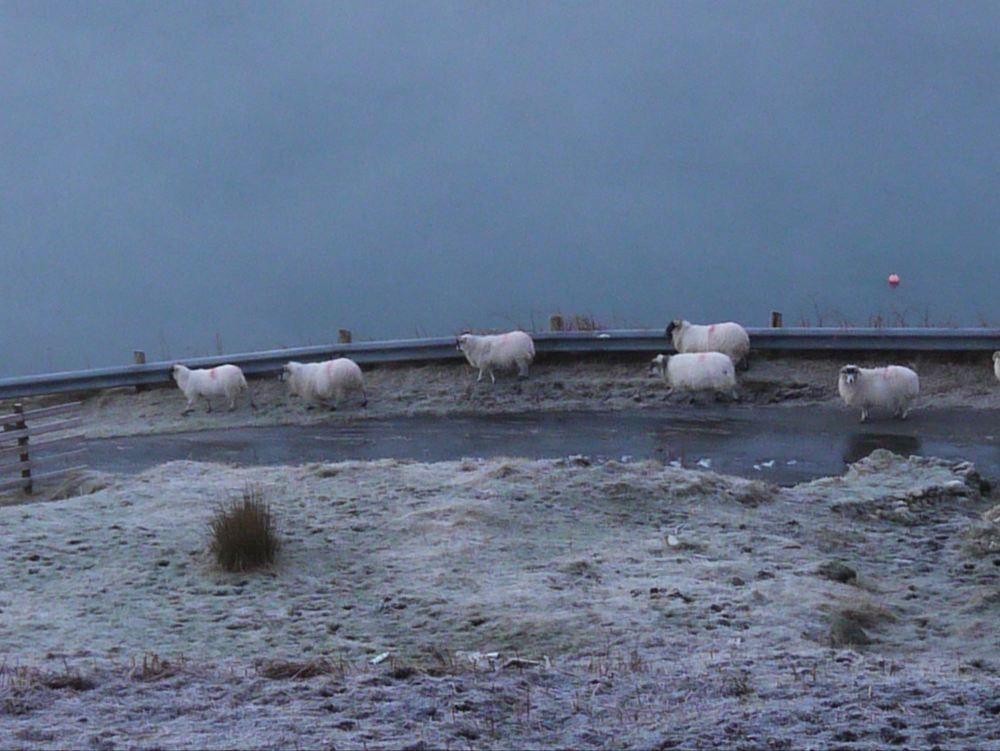 ice sheep 1