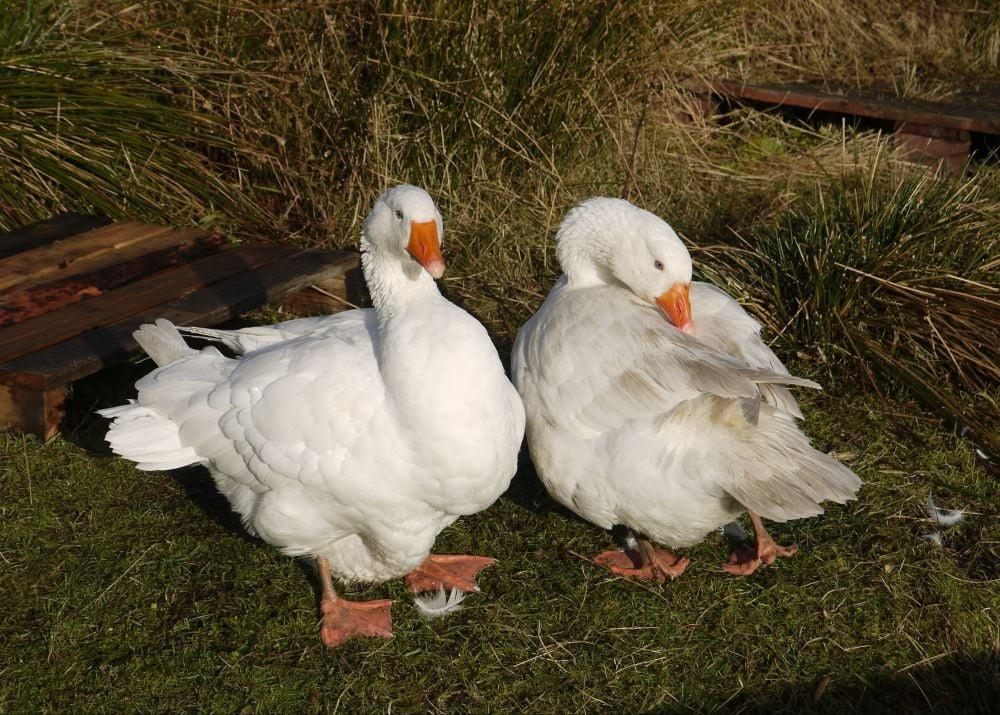 geese preening