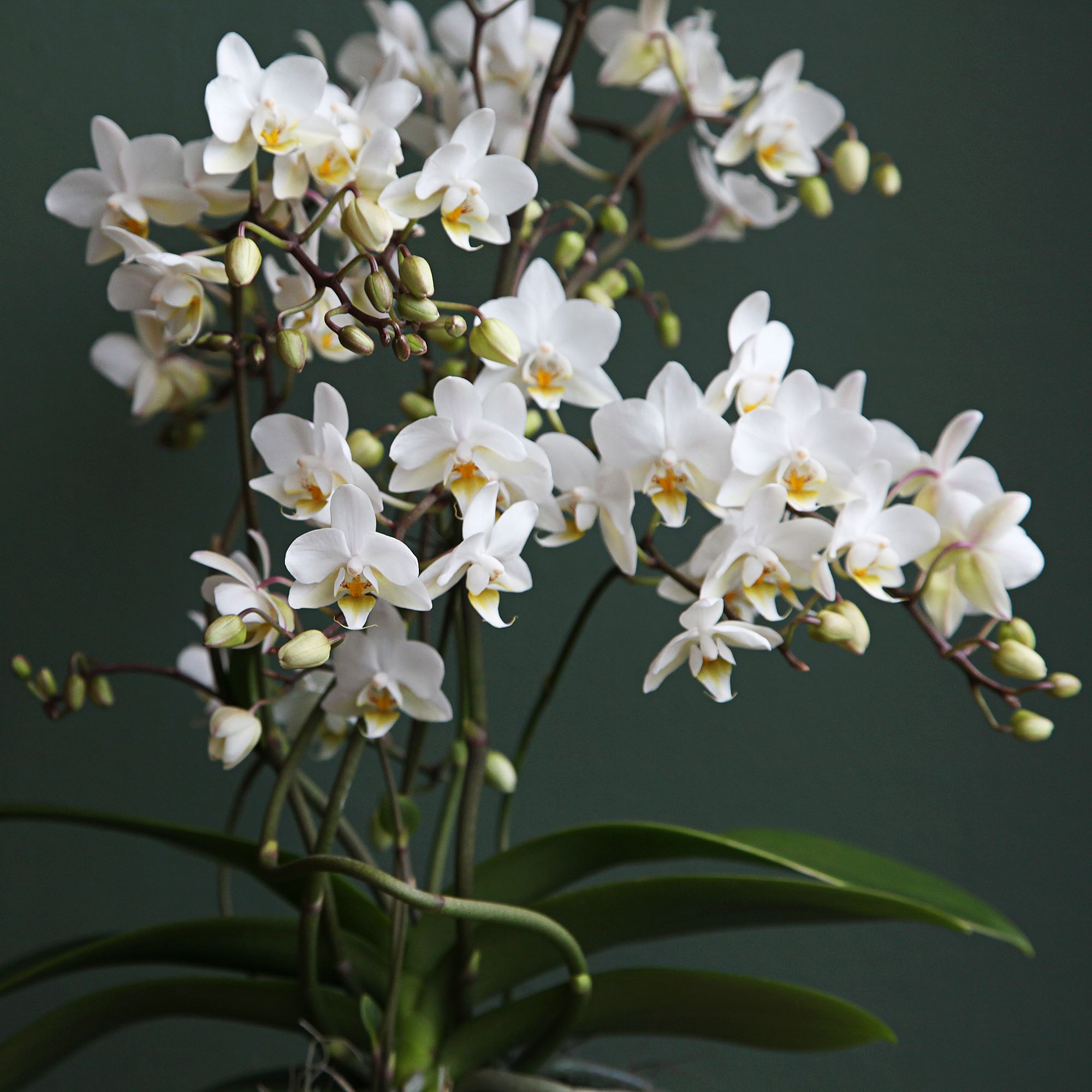 Wild Orchid (close up)