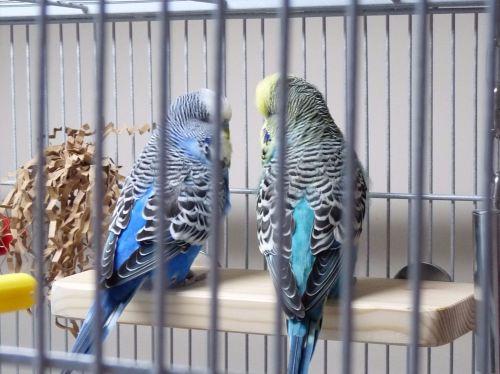 small bird platform perches uk-ben-max