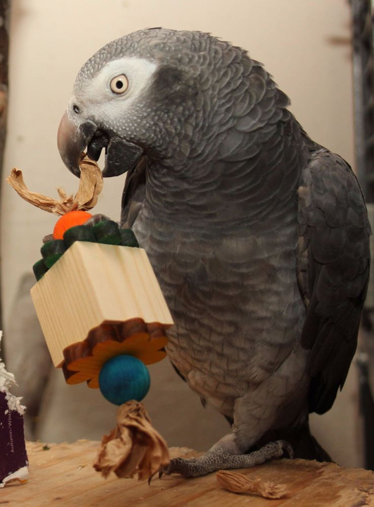 parrot foot toys for greys-ash