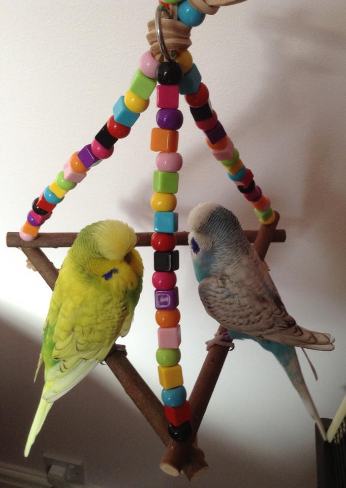 budgie swings to share -billy and sidney