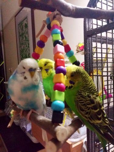 multi perch budgie swing-pippin sprite and kiwi