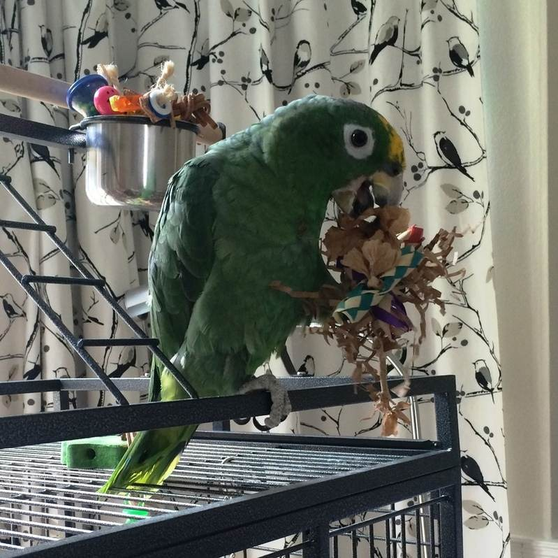 UK Made Parrot Foot Toys-Peepo