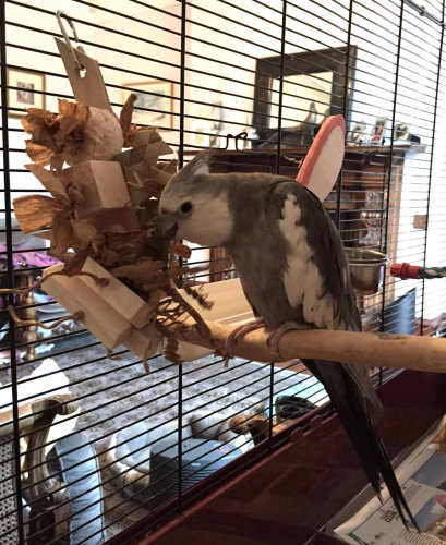 natural shredding toys for cockatiels-bucky