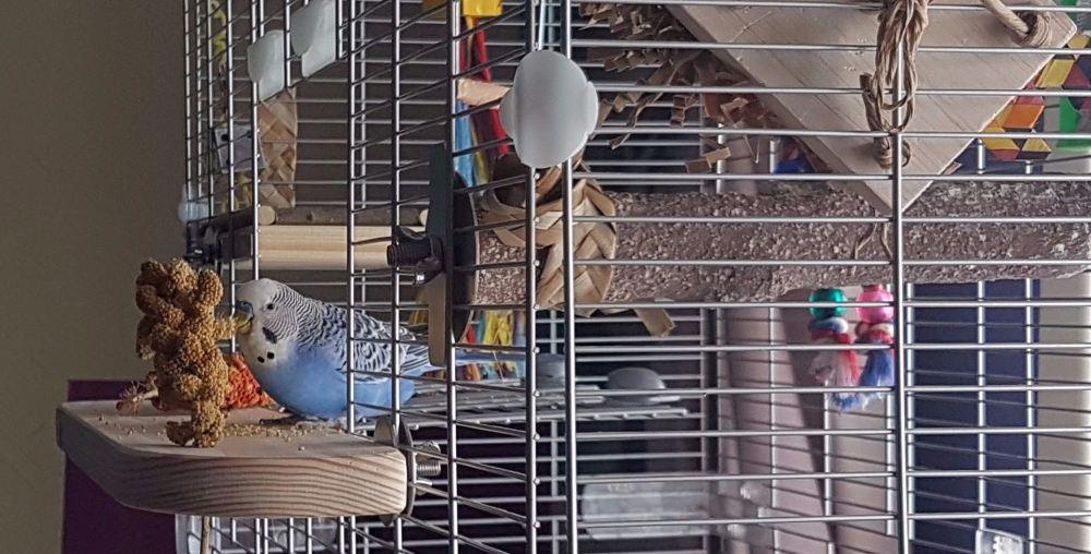 platform perches for budgies-kiki