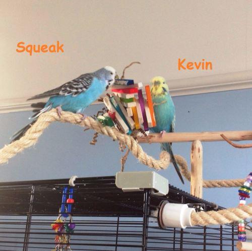 budgie shredding toys-kevin-squeak