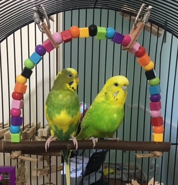 double budgie swing-sorbet & apricot
