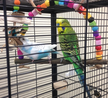 budgie swings- chubby and pretty
