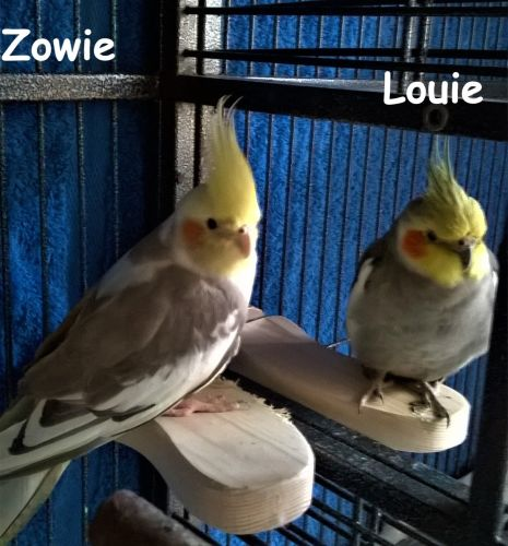 Flat perches for cockatiels-Zowie and Louie