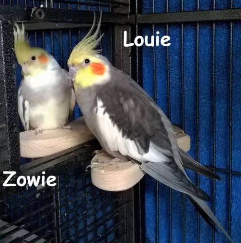 Platform perches for cockatiels-Zowie and Louie