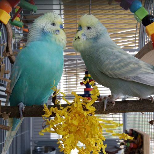 Budgie swing for two-Gladio and Ignis -2018
