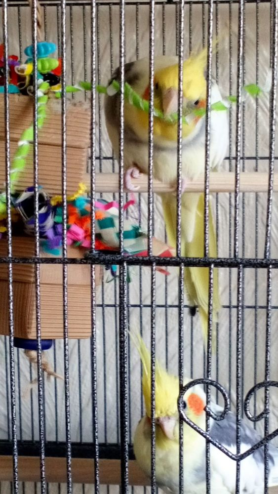 Balsa shredding toys for small birds-Lemon and Lime 08-04-19