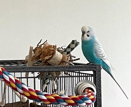 Budgie foraging toys-Woody-2021-09-02
