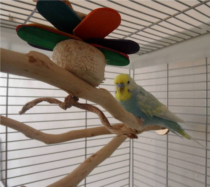 Budgie perches in natural wood UK