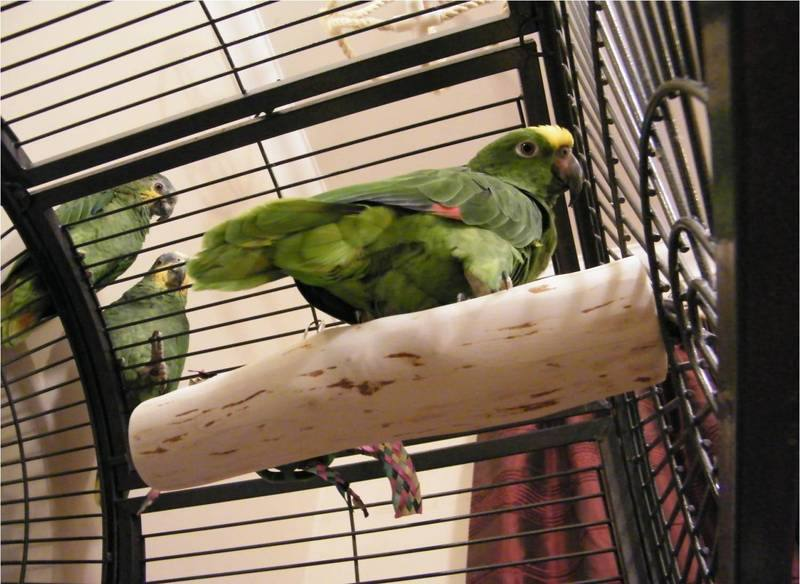 Amazon Parrot Perches