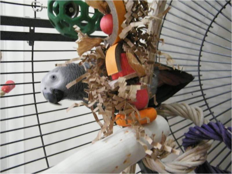 African Grey perches