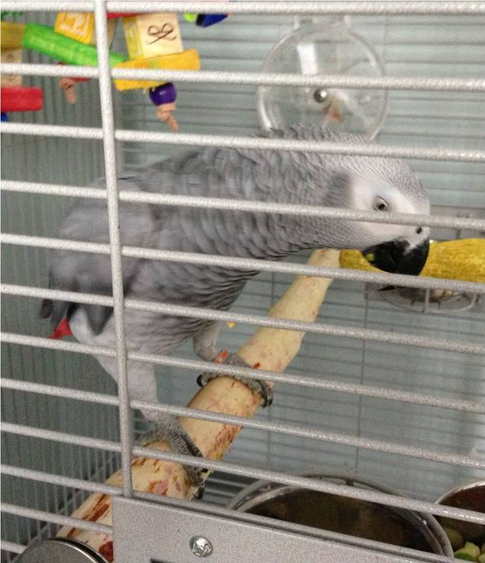 African Grey full length perches