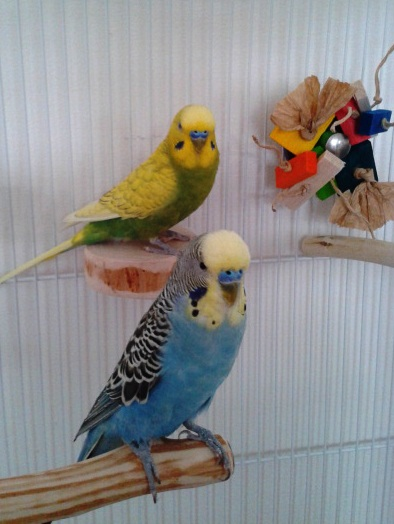 Budgie cage set up package