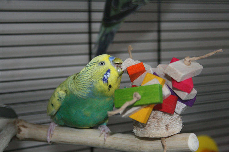 Budgie toy perch