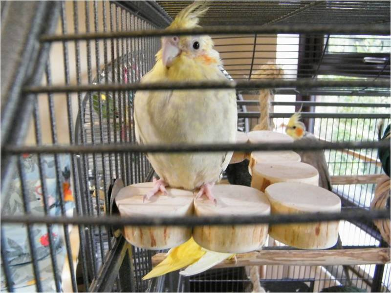 Flat perches for budgies and cockatiels