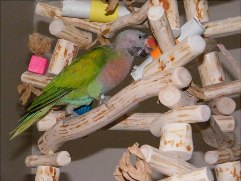 Natural parrot swing with shredding toys