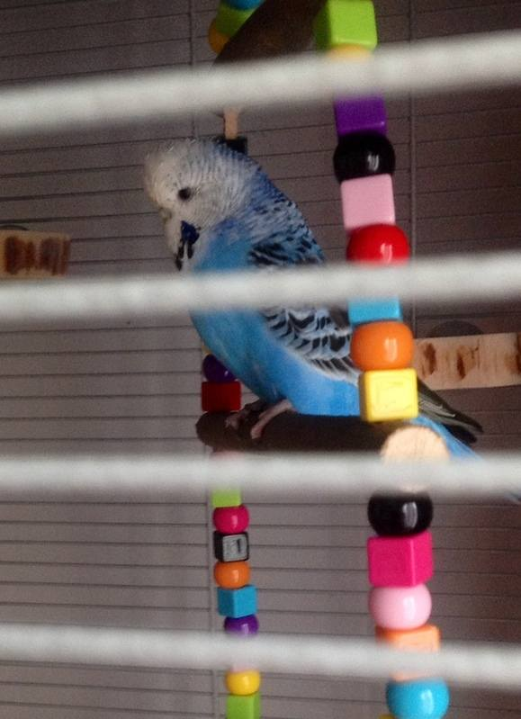 Budgie swing ideal for indoor flight cages