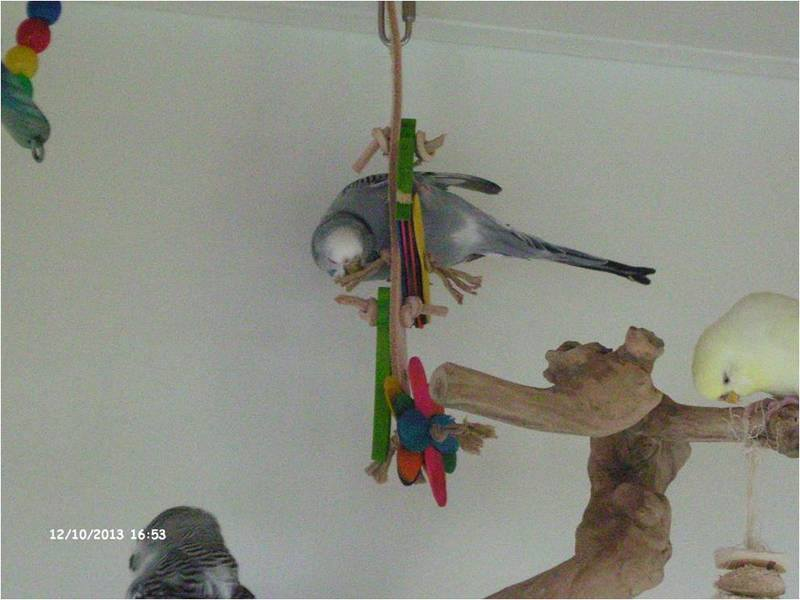 Budgie toys for plenty of fun and acrobatics