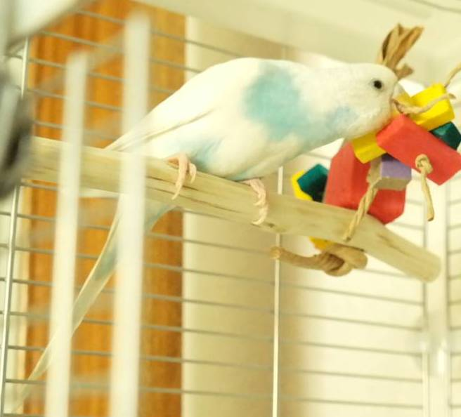 Budgie toy perch-Eowyn checking out the shredding balsa