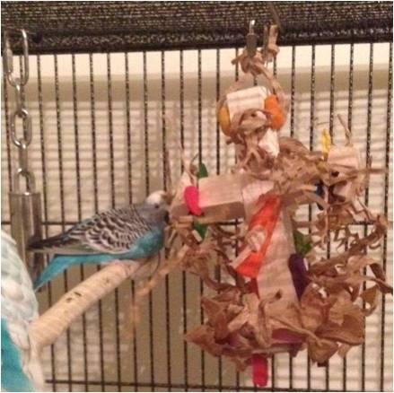 Budgie shredding balsa toy