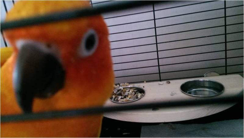 A parrot platform feeder for Yoyo