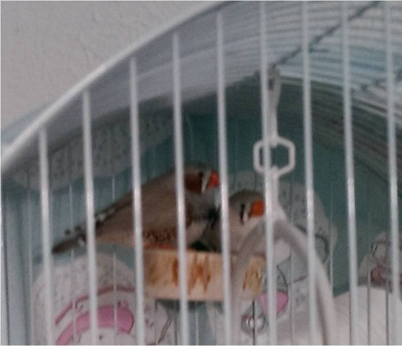 Flat Perch being enjoyed by 2 little Zebra Finches