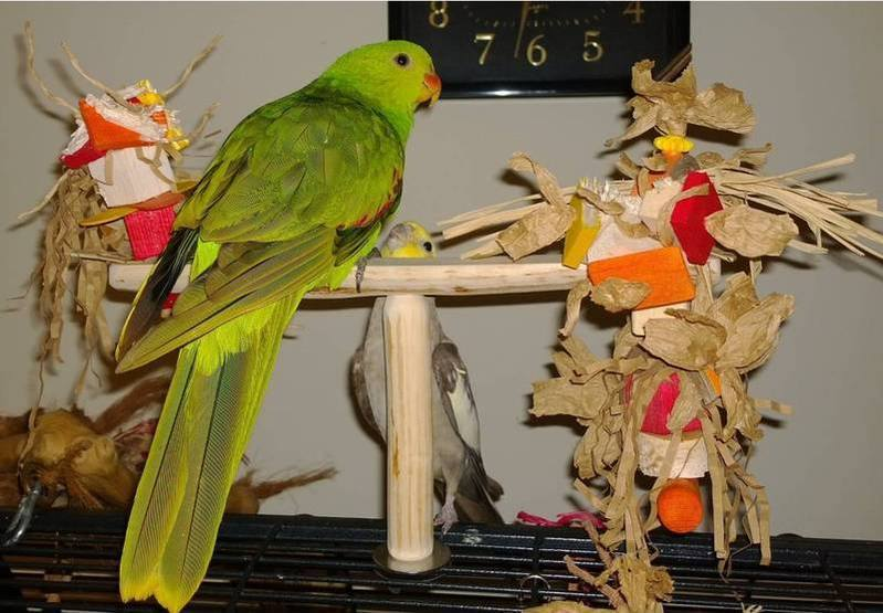 Flat Toy Perches that may help birds with slight foot disabilities