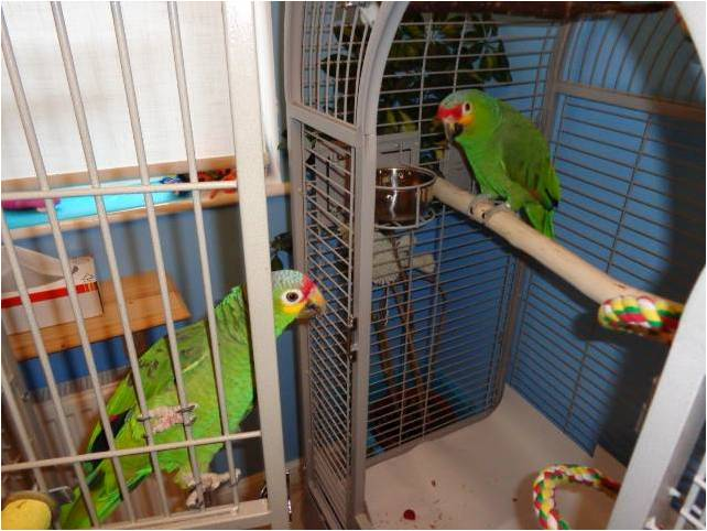 Full length Amazon perches