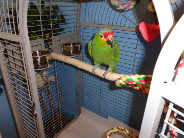 Amazon parrot perches full length UK