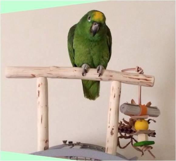 Amazon Parrot T Perches UK