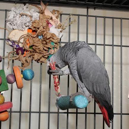 African Grey Parrot Toys UK