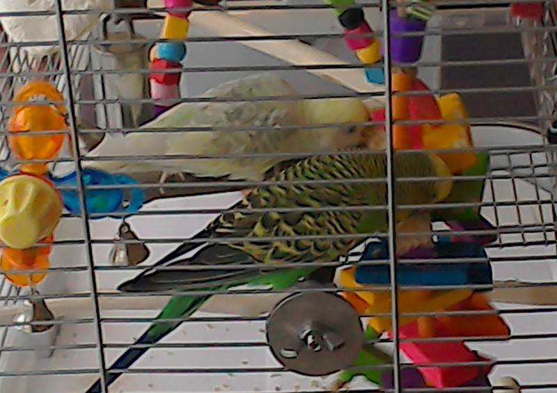 Colourful Balsa Toys for Budgies UK