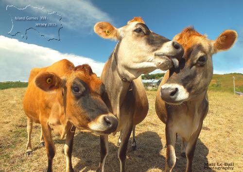 IG_2015_jersey cows