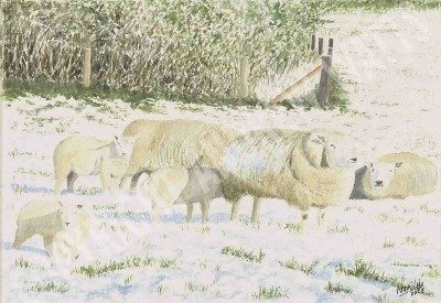 Beltex Sheep in the Snow